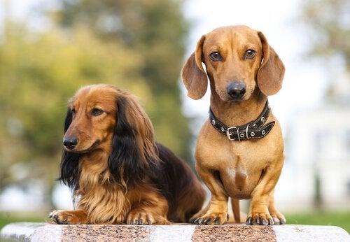 Hundar från FCI grupp 4: olika typer av taxar