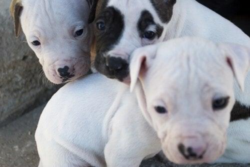 potentiellt våldsamma hundar