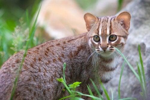 asiatiska kattraser - ceylonkatt