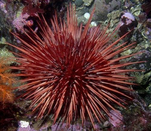 En röd sjöborre