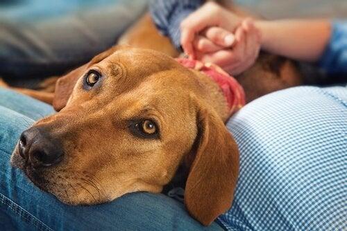 Hund i knä