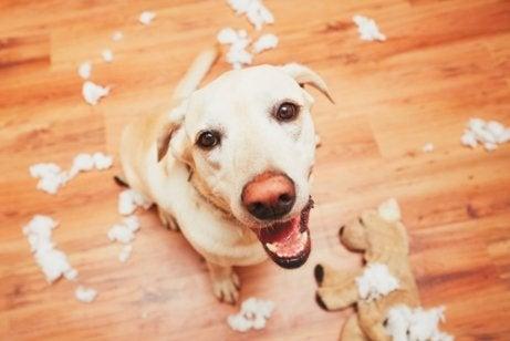 Hund med söndertuggad leksak
