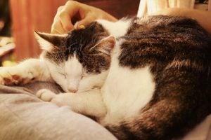 Sovande katt i knä