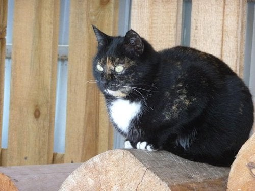 Svart bobtail-katt