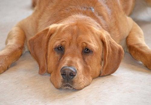 En hund med speciella behov: hunden Eastwood är sist kvar