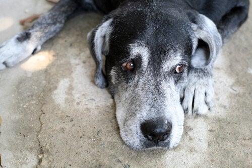 Hund som ligger ner och ser ledsen ut.