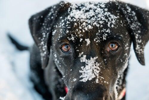 Hypotermi hos hundar: symptom och behandling