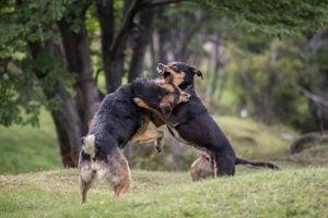 Hundar som slåss