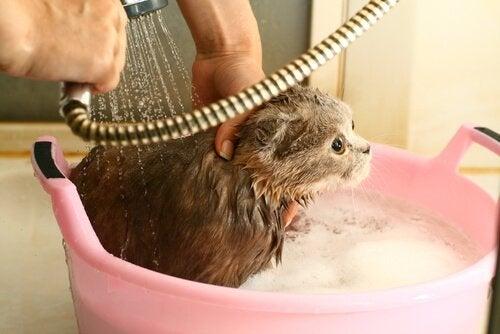 Person som tvättar katten i en balja.