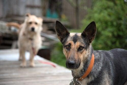 Två hundar som står på brygga.