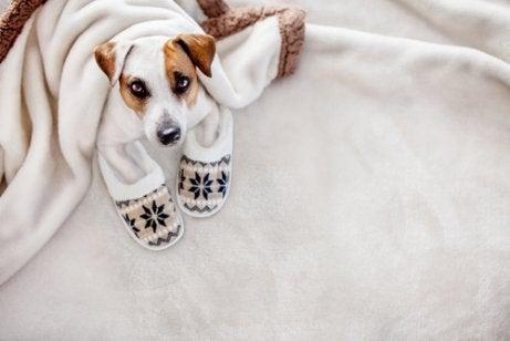 Hund med tofflor