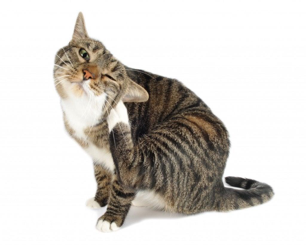 Katt med loppor