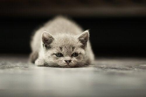 Den vanligaste typen av cancer hos katter