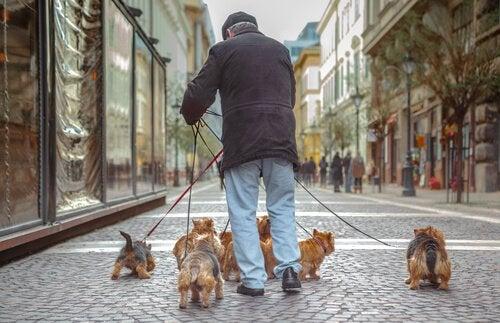 Person med många hundar