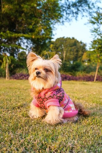 fina kläder for små hundar