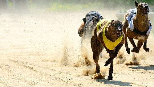 Greyhound som springer.