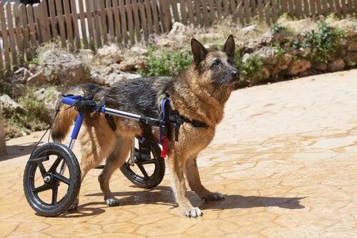 Behandling av svagheter i bakbenen hos hundar