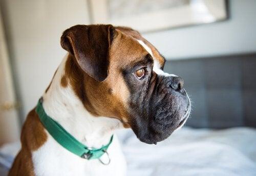 Hur man upptäcker depressionssymptom hos hundar