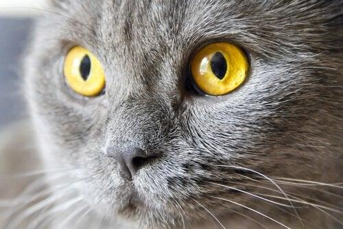 Katt med gula ögon.