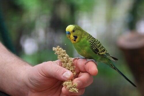 Vilken är den bästa miljön för parakiter?