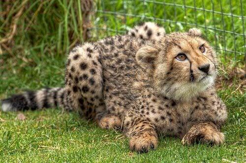 Gepard vid stängsel