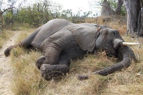 Massakern av 100 afrikanska elefanter i Botswana