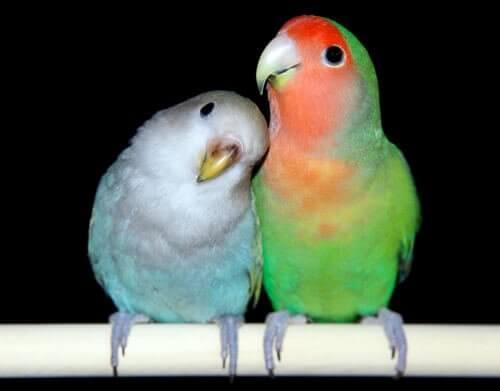 Ett par dvärgpapegojor