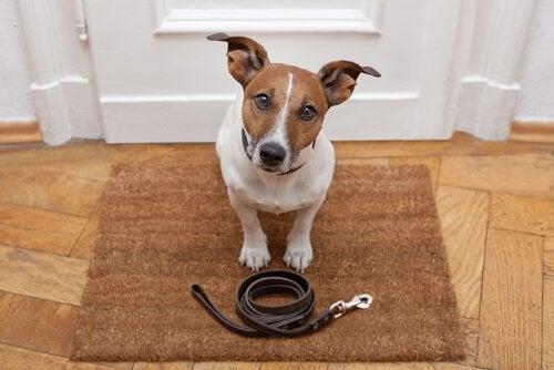 Att instruera hunden under promenader
