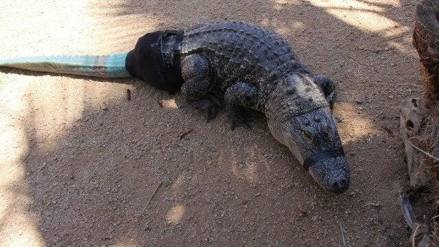 Alligator med protes.