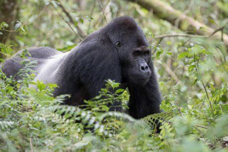 Gorilla bland ormbunkar.