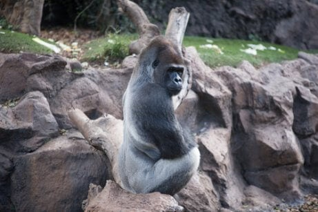 Gorilla som sitter på sten.