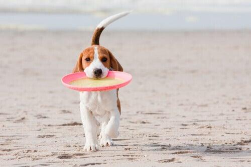 Hund med frisbee i munnen.