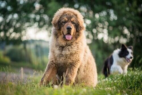 Hundar i gräset.