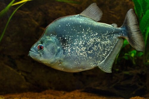Piraya under vattnet