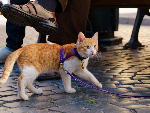 Att gå ut med katten: hur du tar med honom på promenad