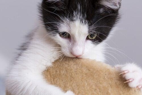 Lär dig om 6 konstiga beteenden hos katten
