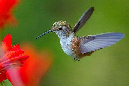 Den vackra och intressanta kolibrins fascinerande liv