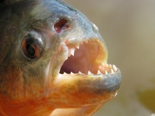 Pirayan: lär känna den skrämmande fisken