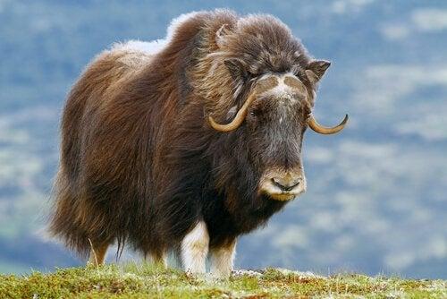 oxen från den kinesiska djurkretsen