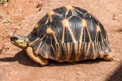 Strålsköldpadda på marken.