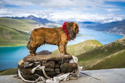 Tibetansk mastiff vid flod.