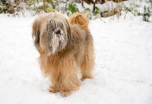 Tibetansk terrier i snö.