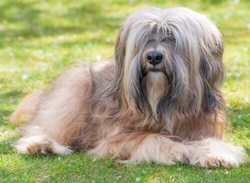 Den Tibetanska Terriern: från templet till folks hem