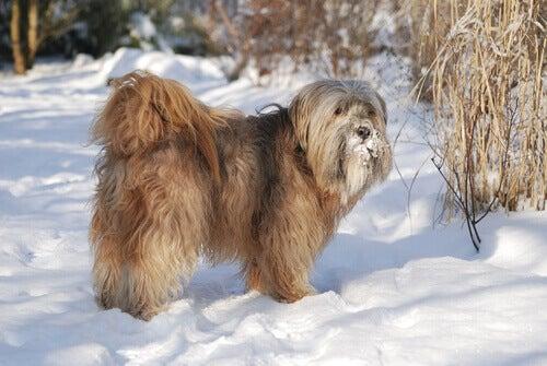 Tibetansk terrier som står i snö.