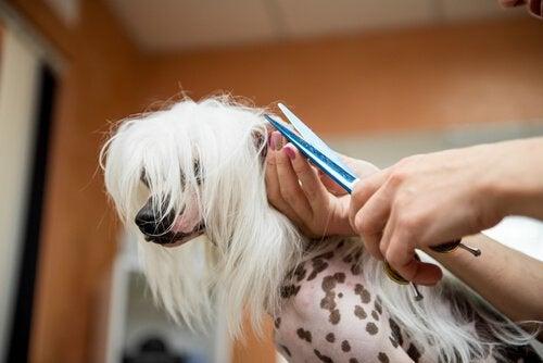 När bör man helst klippa hundens päls?