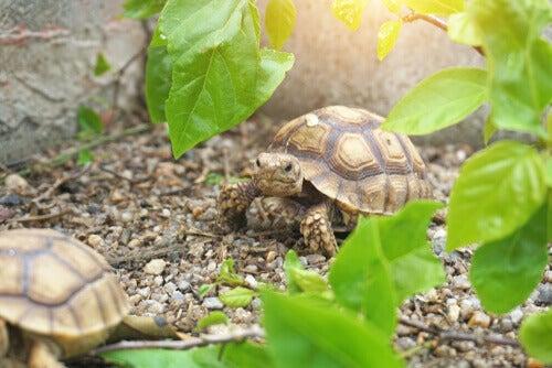 Två sköldpaddor och löv.