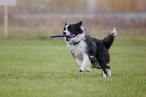 Border Collie som leker.