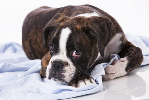Smittsamma tumörer: finns de hos hundar?