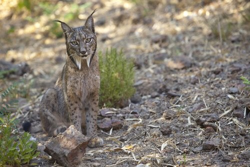 Utrotningshotad panterlo upptäckt i Barcelona