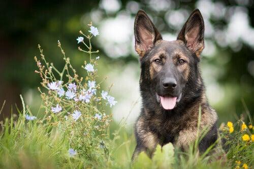 Träna en schäfer, en helt fantastisk hund